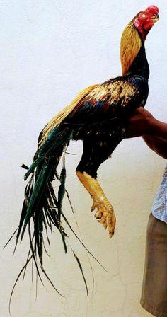 31 Best parrot beak aseels images in 2018 | Parrot, Rooster