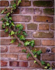 Brick wall with climbing vine 8 x 10 photo  by KarenGorrellArt, $12.00