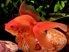 poisson rouge voile