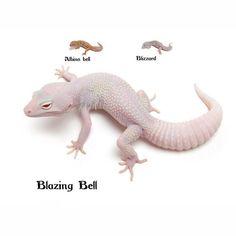 Leopard Gecko Blazing Bell Leopard Gecko Care, Leopard Gecko Morphs, Lizard Girl, Reptile Terrarium, Albino, Lizards, Pictures To Draw, Amphibians, More Fun