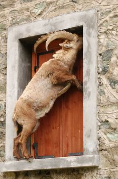 Crazy goat, go away Cane Corso, Billy Goats Gruff, Baby Goats, Fauna, Rottweiler, Farm Animals, Animals And Pets, Funny Animals, Cute Animals