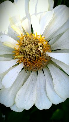ZINNIA (WHITE) - Goodness