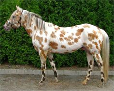 "Bay (A) based leopard Appaloosa with ""Moldy"" spots. Moldy spots are spots with white roaning in them."