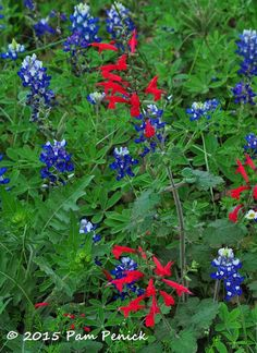 Bluebonnets and cedar sage at the Lady Bird Johnson Wildflower Center   Digging