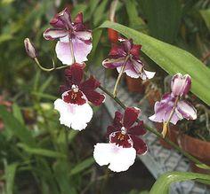 Intergeneric Orchid miltonidium bartley schwartz highlands | Miltonidium Bartley Schwartz 'Highland'