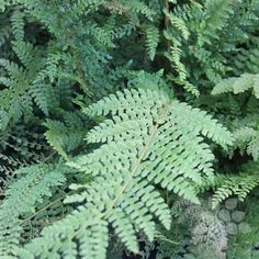 Polystichum Setiferum 'Herrenhausen' - This German fern selection forms a low mound of fine textured, feathery fronds. Attractive in a shady rock garden, along the edge of a border or in containers.