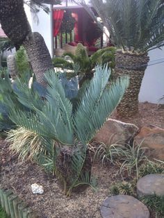 E.dolomiticus Living Fossil, Tropical Gardens, Plant Species, South Africa, Flora, Trees, Gardening, Plants, Beautiful