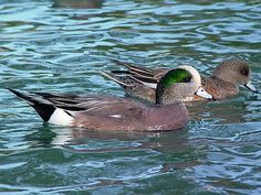 Pictures of Ducks: American Wigeon