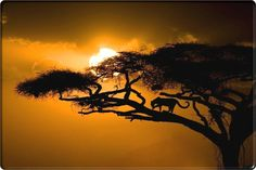 African wildlife-cheetah licking his paws on a tree at sunset