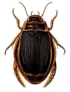 True Source: http://i180.photobucket.com/albums/x1/rbielefeld_bucket/waterbeetle.jpg  A water beetle will represent an enemy in the game where it will roam around the grasslands searching for prey. These tend to be hostile if the player comes into their cone of vision. These will be classed as Water Elemental that uses water attacks to deal at least 3 water damage. JD
