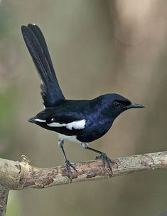 シキチョウ (四季鳥)  Oriental Magpie Robin (Copsychus saularis)male