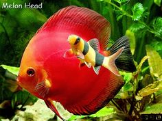 Imagens de discus fish peixe disco acará disco symphysodon discus