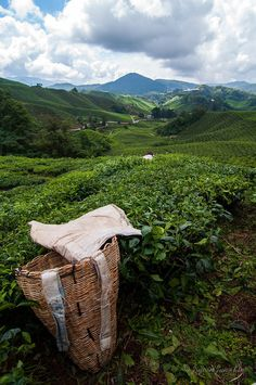 Visiting Boh tea plantation in the Cameron Highlands, Malaysia.