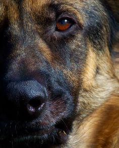 Eye of the German Shepherd -  the eyes are the window of your soul