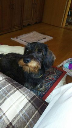 Fox Terrier, Terriers, Animals And Pets, Cute Animals, Wire Haired Dachshund, Weenie Dogs, Daschund, Chihuahua Mix, Dog Rules