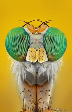 Long-Legged Fly by AlHabshi.deviantart.com on @deviantART