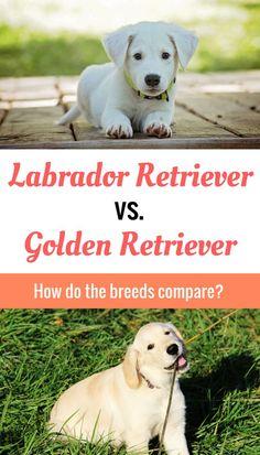 How does the Labrador Retriever compare to the Golden Retriever? The answers will surprise you!
