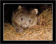 deviantART: More Like Wombat