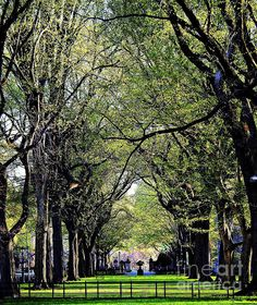 American Elms on the Central Park Mall by James Aiken. Fine art prints for sale. #americanelms #centralpark_nyc #newyorktravel