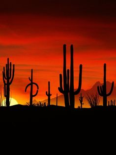 Saguaros Cactus Arizona. A must see. They don't even sprout their first arm until they are about 75 years old. Amazing!!