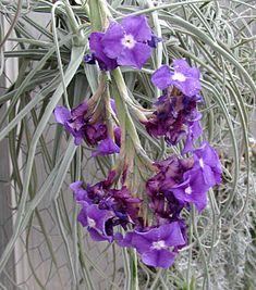 Indoor Benches - A Single Is Ideal For Creating A Cozy Den House Tillandsia Streptocarpa Beautiful Flowers Garden, Exotic Flowers, Wild Flowers, Shade Plants, Air Plants, Indoor Plants, Perennial Flowering Plants, Low Maintenance Plants, Unusual Plants