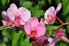 Orchid plants produce some of the loveliest flowers in the world. Make growing orchids easier by using the right techniques. Undertake the right preparations and avoid trouble when you grow orchids in the garden. Orchid Plants, All Plants, Indoor Plants, Orchid Seeds, Indoor Gardening, Orchid Varieties, Sensitive Plant, Types Of Orchids, Flower Shops