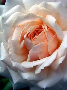Peaches and Cream Rose by Divonsir Borges