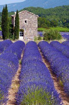 Just a sneak peek of what you can feast your eyes on in the Provence. Lavender Blue, Lavender Fields, Lavander, Wonderful Places, Beautiful Places, French Country Cottage, Provence France, Champs, Countryside
