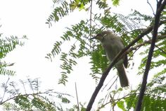 Scrub Honeyeater (Meliphaga albonotata) A bird perched