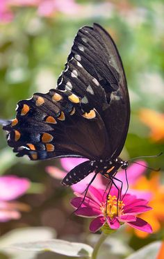 Spicebush Swallowtail by Spademm on deviantART