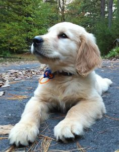 Emanuel Homestead Goldens-beautiful little guy with a Gator colored collar!!!