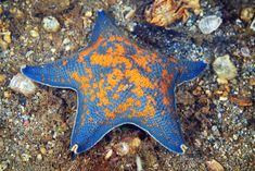 This gorgeous starfish (or sea star) is a Blue Bat (Asterina pectinifera) found in the waters of Japan. About 1,800 living species of starfish occur in all the world's oceans, including the Atlantic, Pacific, Indian, Arctic and Southern Oceans regions. Image credit: Alexander Semenov   pectinifera 1a | by Alexander Semenov