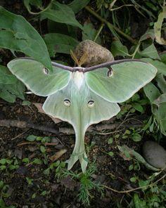 An incredible Luna Moth.  blogged:  lilfishstudios.blogspot.com/2010/06/moon-moths.html