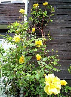 ゴールデンシャワー花盛り090512.jpg
