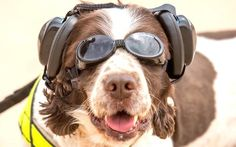 Military dogs like Scooby wear their personal protection equipment in hazardous situations. http://www.telegraph.co.uk/news/2016/04/07/military-dogs-given-goggles-and-boots-during-british-army-exerci/?utm_content=bufferc3ad8&utm_medium=social&utm_source=plus.google.com&utm_campaign=buffer