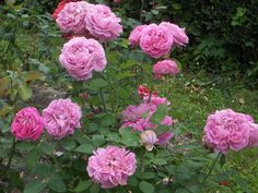 Busy Bee: Roses Keep on Blooming Well