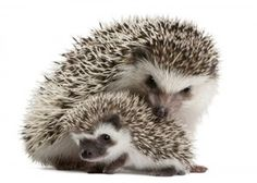 African Pygmy Hedgehog that I shall name Nummy after Numair from Tamora Peirce Wild Mage series.