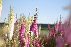 Foxglove @ Floret Flower Farm
