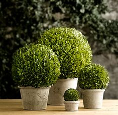 Preserved Boxwood Spheres - Great props for a garden themed table top. Choose a container, place the boxwood sphere on top, add moss and lighted votives around the base of the centerpiece for a glowing effect. Boxwood Plant, Boxwood Topiary, Topiaries, Porch Topiary, Topiary Garden, Faux Plants, Indoor Plants, Real Plants, Buxus Sempervirens