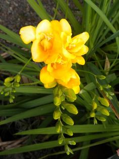 Freesia....my favorite spring flowers!