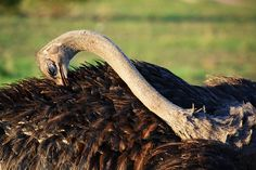 The Ostrich of Londolozi The Ostrich, Birds, Seasons, Seasons Of The Year, Bird