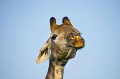 Giraffe Faces 2