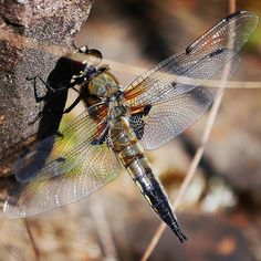 See through dragonfly. I have never seen one like this juvenile? My World, Animals, Animales, Animaux, Animais, Animal