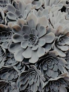 theleoisallinthemind:  succulent