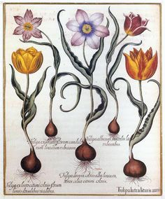 A plate from the Hortus Eystettensis by Basilius Besler (1613) a record of the collection of flowers in the garden of the Prince-Bishop of Eichstatt