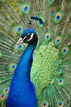 Proud Peacock - (CC)Dennis Jarvis (archer10) - www.flickr.com/photos/archer10/2566141782/in/set-72157605505196470#