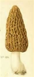 With a little luck, maybe, just maybe, I'll find some morels under my poplars this spring.