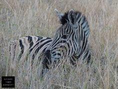 Zebra right before sunset