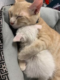 They look so adorable together! - your daily dose of funny cats - cute kittens - pet memes - pets in clothes - kitty breeds - sweet animal pictures - perfect photos for cat moms Cute Kittens, Cute Kitten Pics, Ragdoll Kittens, Bengal Cats, Kitty Cats, Cute Little Animals, Cute Funny Animals, Funny Pets, Beautiful Cats