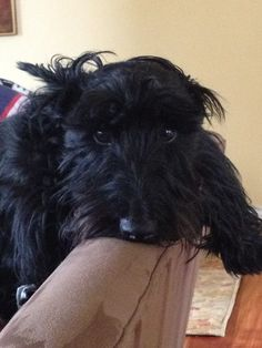Dog Accessories For The Home .Dog Accessories For The Home Schnauzer Mix, Cute Puppies, Cute Dogs, Dogs And Puppies, Animals And Pets, Cute Animals, Westies, The Duff, Dog Accessories
